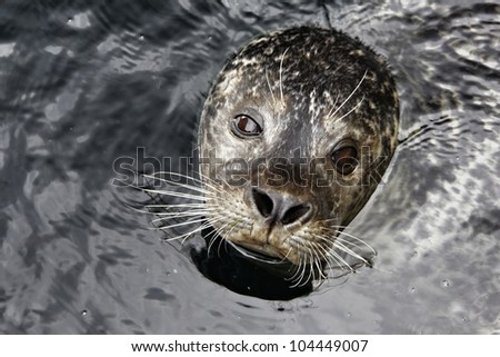 Seal looks out of the water - stock photo