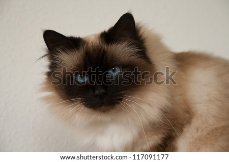 Seal point birman cat - stock photo