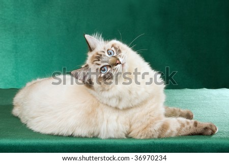 Seal point lynx Ragdoll on green background - stock photo