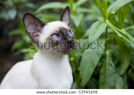 Seal point siamese cat in the garden - stock photo