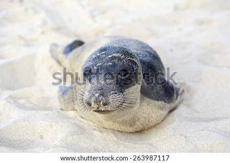 Seal pup having rest on the Hermosa beach, California, USA