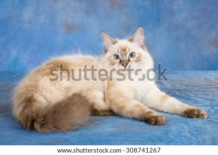 Seal Tabby Lynx Colourpoint Ragdoll cat lying down on blue background  - stock photo