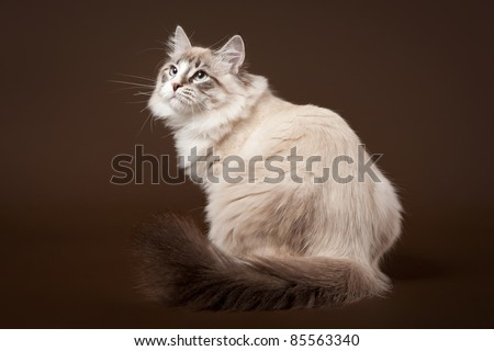 Seal tabby point with white siberian cat on dark brown background - stock photo