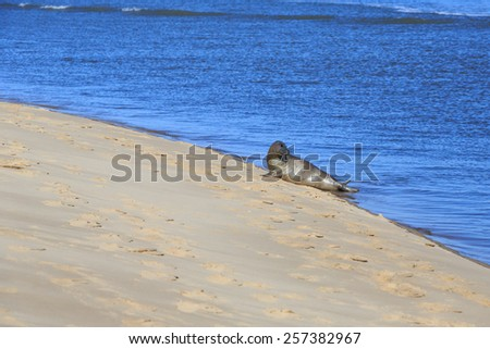 Seal, young pup coming out of the water - stock photo