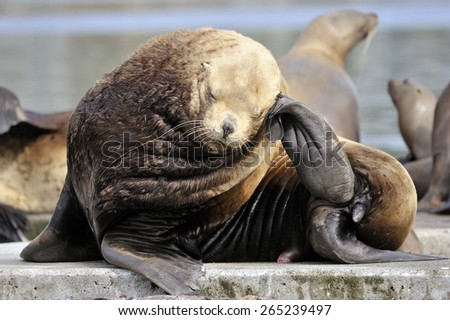 Sealion (Eumetopias jubatus) scratching it's head. - stock photo