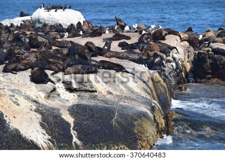 Seals at Hout Bay in South Africa - stock photo
