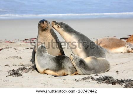 Seals at Seal Bay Kangaroo Island South Australia - stock photo