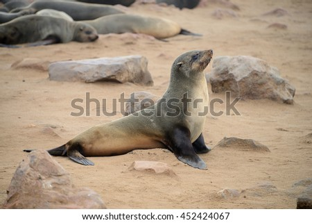 Seals, Cape Cross, Namib desert, Namibia - stock photo
