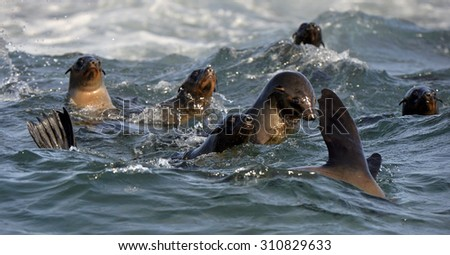 Seals swim and jumping out of water . Cape fur seal (Arctocephalus pusilus). Kalk Bay, False Bay, South Africa  - stock photo