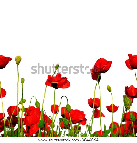 seamless poppies - stock photo