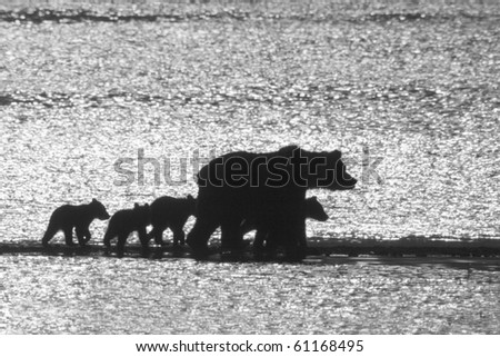 Searching for Salmon - A grizzly bear family of five are trotting along the beach looking for a salmon breakfast in Katmai National Park, Alaska. - stock photo