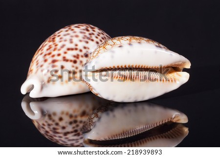 seashell of tiger cowry isolated on black background - stock photo