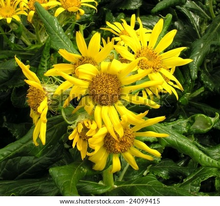 seaside arnica - Senecio pseudarnica - stock photo