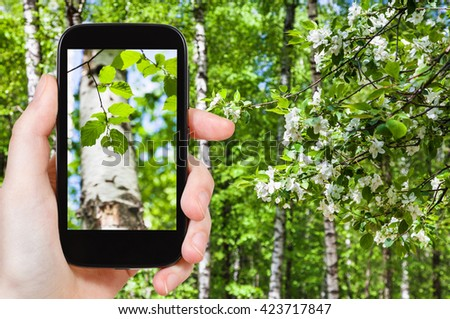 season concept - naturalist photographs young green leaves of birch trees in green spring forest on smartphone - stock photo