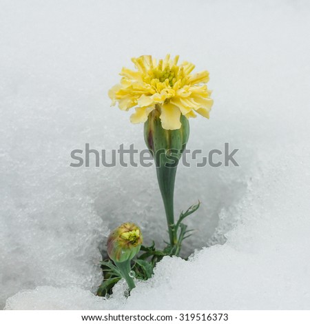 Season confusion:  Macro of a yellow chrysanthemum surrounded by white snow. - stock photo