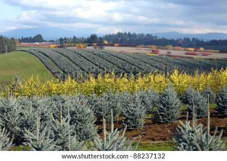 Seasonal changes in a tree farm rural Oregon. - stock photo