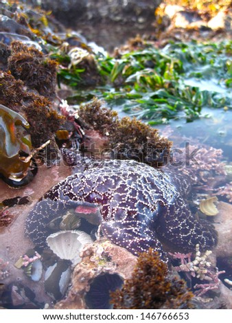 Seastar in tidepool, Pacific Ocean - stock photo