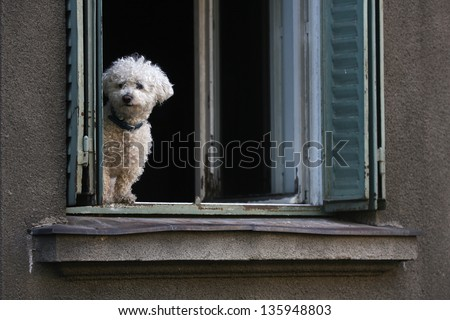 seated bichon frise puppy dog in the window - stock photo