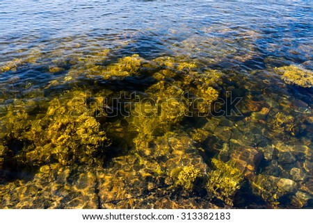 seaweed in the sea on stones in the afternoon - stock photo