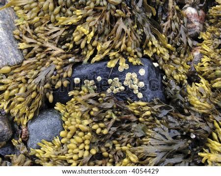 Seaweed on stones - stock photo