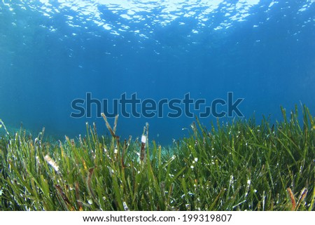 Seaweed Underwater - stock photo