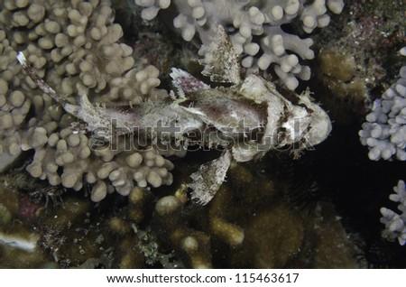 Sebastiscus albofasciatus - stock photo