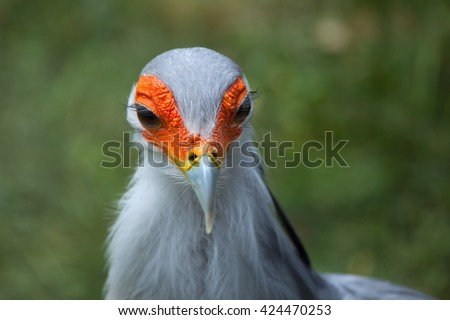 Secretary bird (Sagittarius serpentarius). Wildlife animal.  - stock photo