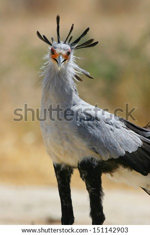 Secretary bird up close - stock photo
