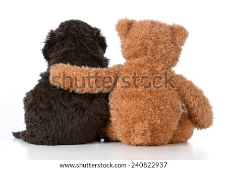security - teddy bear with arm around a cute barbet puppy on white background - stock photo