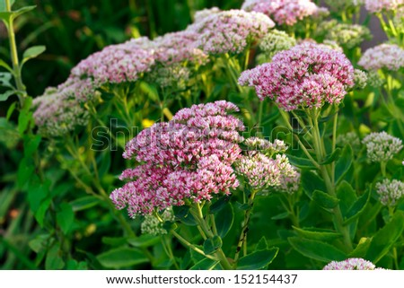 Sedum Herbstfreude - stock photo