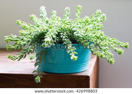 Sedum morganianum (Burro's Tail, Donkey's Tail, Lamb's Tail, Horse's Tail) World - Succulent plant native to Mexico - stock photo