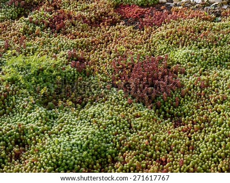Sedum plants with dew growing at the roof of a building - stock photo