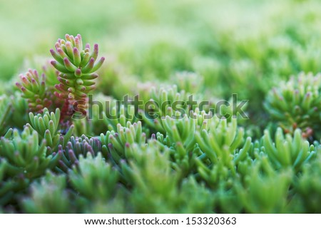 Sedum (stonecrop Spanish) close up in a summer city park. - stock photo
