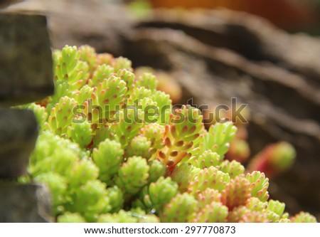 Sedum succulent plants in the park - stock photo