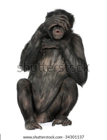 see no evil monkey (Mixed-Breed between Chimpanzee and Bonobo) (20 years old) in front of a white background - stock photo