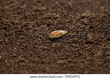 seed of wheat on brown soil in perfect light, with low sharp field - stock photo