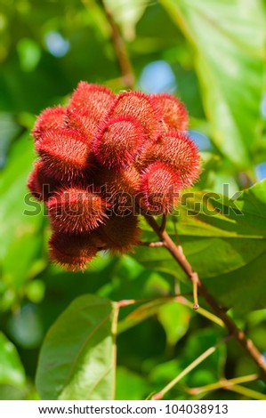 seed pods growing on an annatto tree, bixa orellana - stock photo
