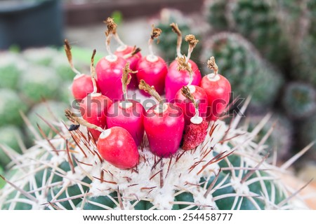 Seed Tube of Round Succulent Cactus (Cacteceae) in a Garden - stock photo