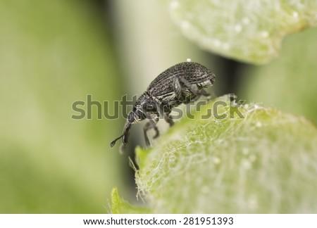 Seed weevil, Betulapion simile on leaf - stock photo