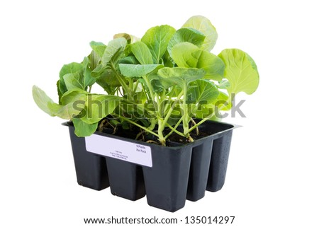 Seedling brussels sprouts in a container.  Side view - stock photo