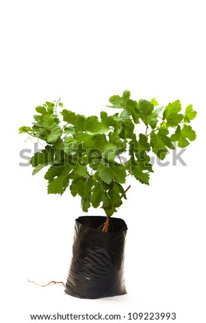 seedling grapes in pot isolated on the white backgrounds - stock photo