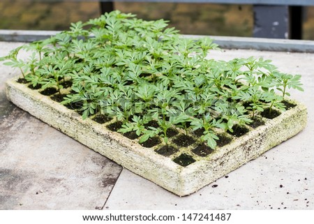 Seedling nursery in the Tray. - stock photo