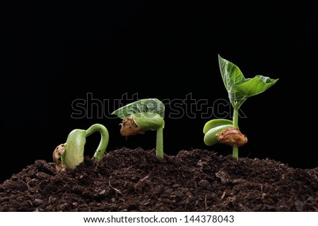 seedling of bean seed in soil isolated on black - stock photo