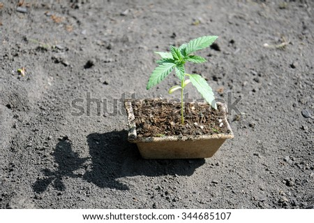 seedling of cannabis in planting pot - stock photo