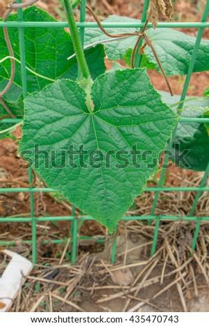 Seedling of cucumber,leaf of cucumber - stock photo