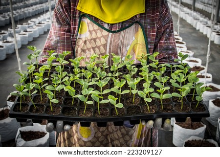 seedling of watermelon on hand woman in greenhouse. - stock photo