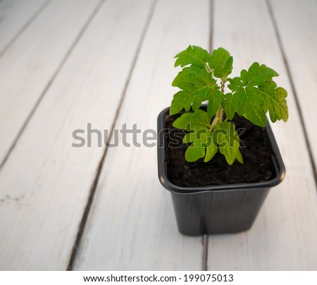 Seedling tomatoes in a pot - stock photo
