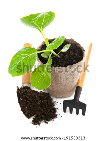Seedlings cabbage in pot with garden tools. Isolated on white background - stock photo