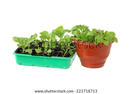 Seedlings in a box. Isolated on white.                                - stock photo