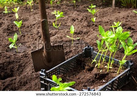seedlings in the garden in black box - stock photo